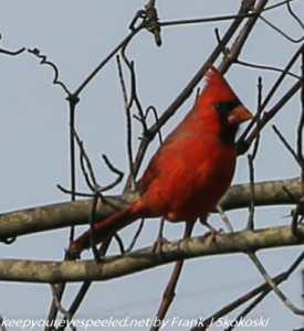 cardinal on tree branch