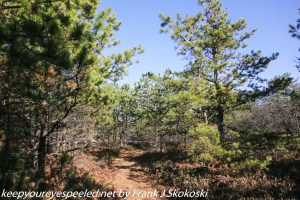 pitch pines on trail