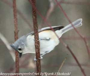 tufted titmouse on branch