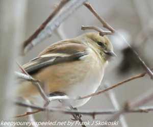 male goldfinch in winter plumage