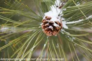 snow on pine cone