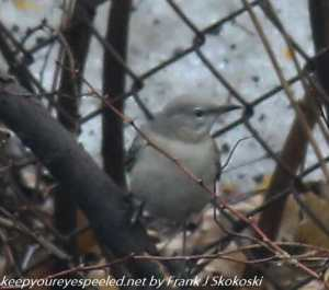 mockingbird on ground