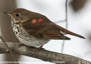hermit thrush on branch