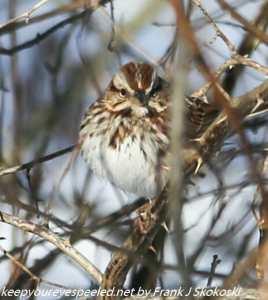 sparrow in brush