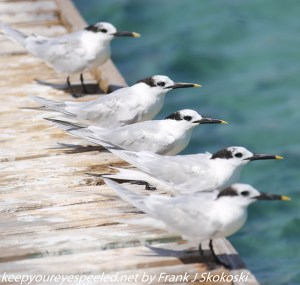 terns in a row on pier