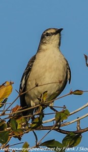 mockingbird in branch
