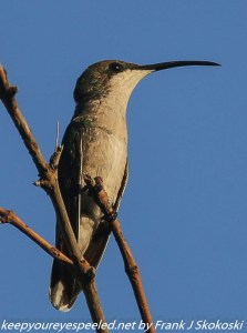 Antellean hummingbird on branch