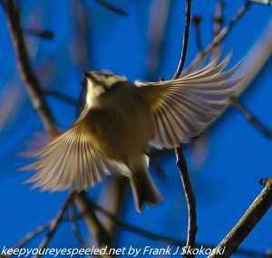 golden crowned kinglet in flight