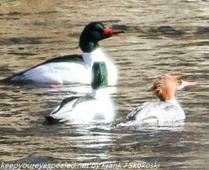 common mergansers on Lehigh River