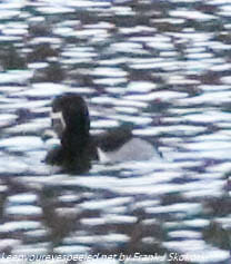 ring necked duck on lake