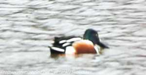 shoveler duck on lake