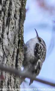 brown creeper on tree branch