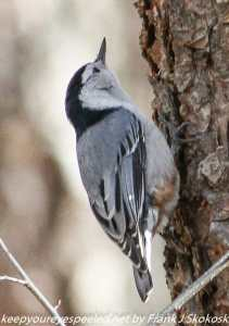 red breasted nuthatch on tree branch