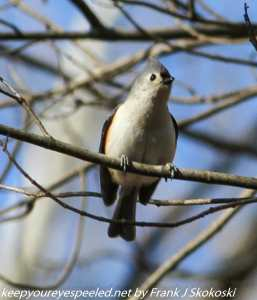 tufted titmouse on tree branch