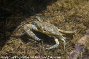 crab in water of bay