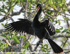 anhinga in tree with wings extrnded