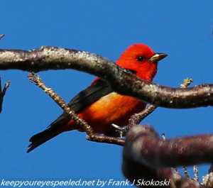 scarlet tanager in tree