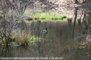mallard on pond