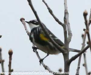 yellow rumped warbler in tree