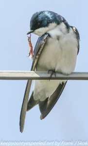 tree swallow on power line