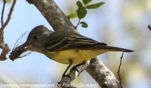 flycatcher eating insect