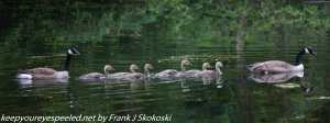 geese with goslings on lake