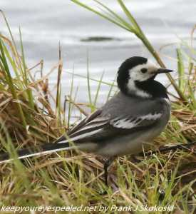white wagtail in reeds