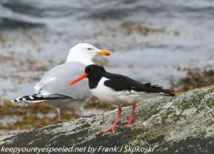 sea gull and oystercatcher