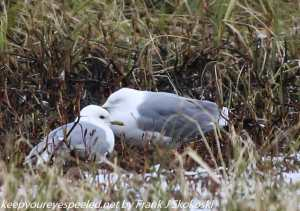 sea gulls on nest
