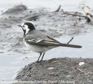 white wagtail ?