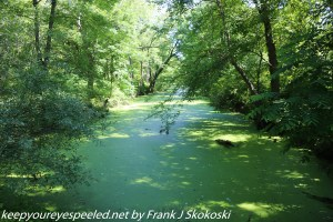 duckweed covered canal in wetlands