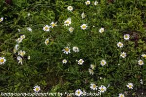 daisies along trail