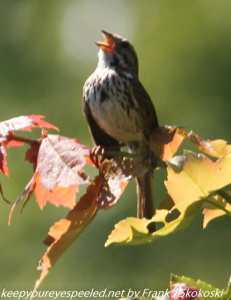 song sparrow singing in tree