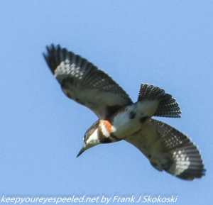 belted kingfisher in flight