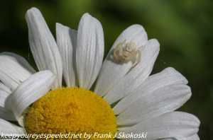 goldenrod spider on daisy