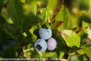 low bush blueberry