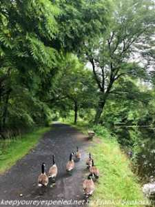 canada geese on path along canal