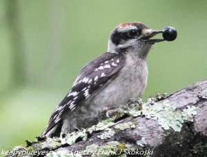 woodpecker with berry