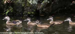 wood ducks on canal