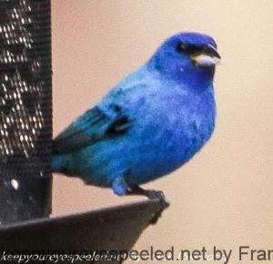 indigo bunting at feeder