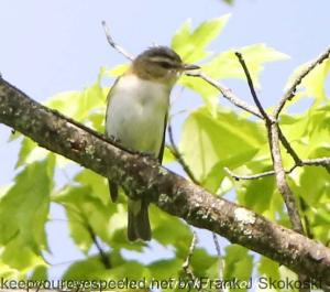 red-eyed vireo on perch