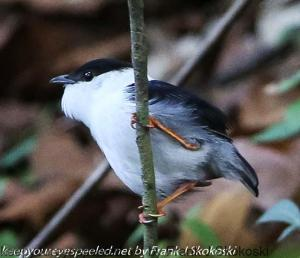 white bearded manakin on branch