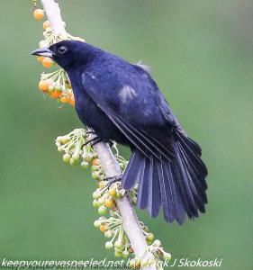 male white lined tanager