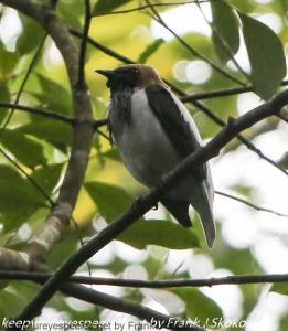 bell bird in tree