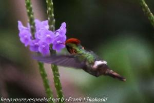 male tufted coquette humming bird