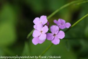 pink dames rocket flower