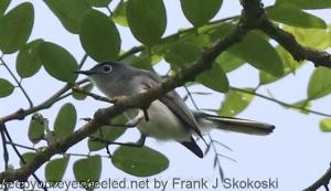 flycatcher or vireo in tree