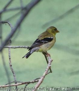 female goldfinch on branch