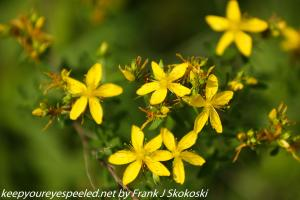 yellow St. John's wort