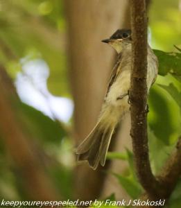 flycatcher in tree